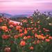 Marigold bloom!