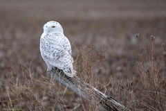 Snowy Owl - img_6994 (NicoleW0000) Tags: snowyowl owl wildowl arctic bird field outdoor wildlife photography ontario canada 2018