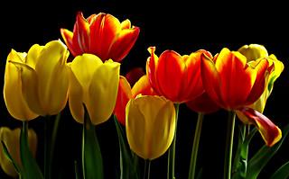 IMGP7466 Tulips