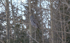 Great Gray Owl on a gray day (Khanh B. Tran) Tags: