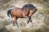 wild Horses (Jami Bollschweiler Photography) Tags: wild horse photography utah wildlife nikon female stallions fighting west desert onaqui herd