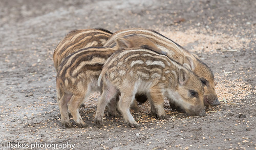 Natuurpark Lelystad wild baby  Pigs