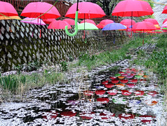 Umbrellas (MelindaChan ^..^) Tags: jinhae skorea 鎮海 umbrellas reflection petal fallen cherry blossom 櫻花 plant bloom 櫻 花 spring flower colors chanmelmel mel melinda melindachan travel