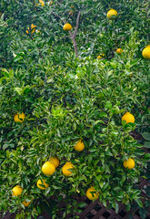 Orange trees with fruits at garden (phuong.sg@gmail.com) Tags: agriculture background citrus crop delicious drink environment farm farmers food fresh fruit garden green grove grow growth harvesting health juice juicy leaf natural nature orange organic plant produce ripe sky spring sweet tangerine tree tropical vitamin