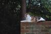 Gracie Jo (rootcrop54) Tags: graciejo dilute calico female cat neighbor neighbors friend sphinx egypt greatsphinx neko macska kedi 猫 kočka kissa γάτα köttur kucing gatto 고양이 kaķis katė katt katze katzen kot кошка mačka gatos maček kitteh chat ネコ