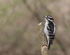 3R1A6328 (photosrjo) Tags: woodpecker downy bird tree nature wildlife