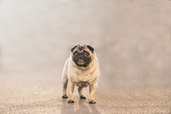 Pug #2 (nesterov.photographer) Tags: dog doglovers dogs pug puggy puglover pugstagram puglife puglovers pugs animal
