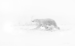 When the Going Gets Tough (Dr DAD (Daniel A D'Auria MD)) Tags: polarbears bears mammals animals polarbearsofchurchill manitoba canada wildlife wildlifephotography naturephotography childrenswildlifebooksbydanieladauriamd drdadbooks danieladauriamd november2011 polarbearcubs cubs bearcubs watcheelodge arctickingdom march2018