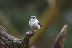 Long-Tailed Tit (_John Hikins) Tags: tit long tailed longtailed bird birds wildlife woods yarner devon d500 dartmoor sigma nikon nikkor nature animal bokeh branch 150600mm 150600c 150600 ringed