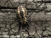 Famille Sclerosomatidae - Leiobunum vittatum (Répertoire des insectes du Québec) Tags: arachnide araignée arachnida macro quebec spider