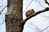 Red squirrel (mpalmer934) Tags: squirrel branches twigs nature outdoors woods forest spring