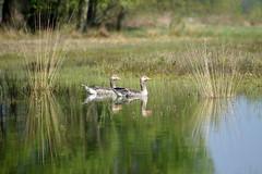Maasduinen Nationalpark (thomas druyen) Tags: maasduinen nationalpark natur gänse enten schafe wasser bergen niederlande holland tiere vögel umwelt see spiegelung schilf ufer
