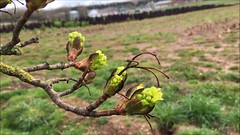 Norway Maple (Acer platanoides) - buds & flowers - April 2018 (Exeter Trees UK) Tags: norway maple acer platanoides buds flowers april 2018