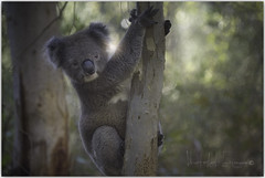 It's my tree! (PhotoArt Images) Tags: australia southaustralia koala tree gumtrees marsupial photoartimages nikond810 nikon80400