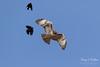 Red-winged Blackbirds attack Red-tailed Hawk (TonysTakes) Tags: redtailedhawk hawk raptor bird wildlife colorado coloradowildlife weldcounty firestone redwingedblackbird