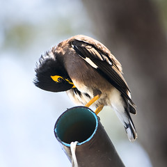 Common myna_IV (GreenLena) Tags: common myna black yellow pick feather cleaning