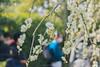 城南宮|京都 (KaguraYanki) Tags: canon650d 梅花 枝垂梅 しだれ梅 源氏物語 花見 花之庭 城南宮 椿まつり photography 梅花雨