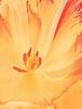 Instant sunshine (louise peters) Tags: tulip tulp macro stamen meeldraden stamper yellow red geel rood zon sun