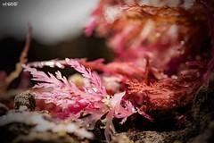 Pink Treasures (red stilletto) Tags: thegreatoceanroad thegreatoceanroadvictoria greatoceanroad greatoceanroadvictoria thecoast summer macro beach sea ocean pointroadknight famousflickrfive seatreasures beachtreasures seaweed
