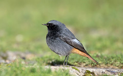 Black Redstart (NickWakeling) Tags: blackredstart sheringham norfolk canoneos7dmarkii sigma150600mmf563dgoshsmcontemporary
