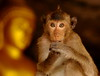,, Young Monkey, Cave ,, (Jon in Thailand) Tags: monkey primate buddha cave themonkeytemple animaleyes youngmonkey youngprimate gold monkeyeyes pointyhead nikon d300 nikkor 70300vr wildlife wildlifephotography jungle deepjungle youngdumb monkeyears wildanimal faces monkeynose monkeywhiskers monkeyhands