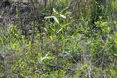 a lmn bay DSC_0014 (eustatic) Tags: basa wildlife grn lmn