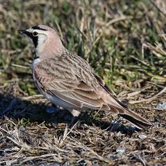 Horned Lark (britonparker) Tags: horned lark