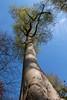 beech tree (Francis Mansell) Tags: tree beech fagussylvatica plant sky eppingforest trunk bark branch forest woodland