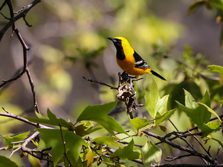 Hooded Oriole first of Spring Inceville Los Liones Canyon Los Angeles 092