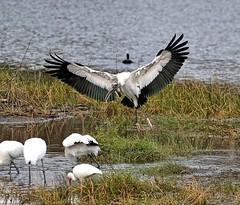 Watchout!!! (Darts5) Tags: woodstork stork storks uglybird bird birds bif birdinflight 7d2 7dmarkll 7dmarkii 7d2canon ef100400mmlll canon7d2 canon7dmarkll canon7dmarkii canon canonef100400mmlii