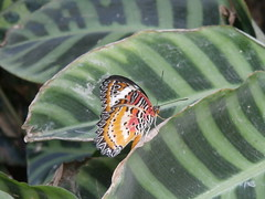 P4190136 (Steve Guess) Tags: horniman museum butterfly forest hill london england gb uk