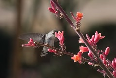Softly Softly (harefoot1066) Tags: trochilidae blackchinnedhummingbird femaleblackchinnedhummingbird archilocusalexandri redyucca asparagaceae agavoideae hesperaloe hesperaloeparviflora