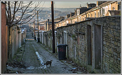 King of the Alley (david.hayes77) Tags: accrington lancs lancashire waterstreet avenueparade alley cat terraces winter 2017 backalley kingofthealley cobbles chimney tabbycat urban street north streetlife terracehouses