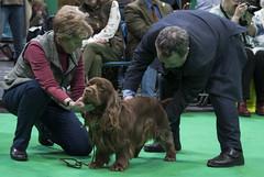 GAZ_1316 (garethdelhoy) Tags: dog sussex spaniel crufts 2018 kennel club