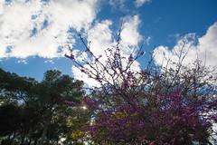 Árbol (Markspitz15) Tags: arbol flores rosa cielo azul nubes parque contraluz pajaro