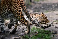 In love (Michel L'HUILLIER (Asterix_93)) Tags: srilankan leopards love face watch nikon d810