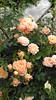 Orange roses in Balchik botanical garden, Bulgaria (cod_gabriel) Tags: bulgaria balchik balcic botanicalgarden balchikbotanicalgarden cadrilater dobrogea dobruja dobrudja rose roses trandafir trandafiri балчик българия добруджа