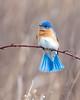 03172018-176-810Screen (bjf41) Tags: bluebird blue bird brilliant colorful middlecreekwma middlecreekwildlife