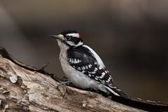 Downy Woodpecker (grobinette) Tags: downywoodpecker woodpecker huntleymeadowspark huntleymeadows