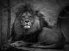 Löwe im Tierpark Hellabrunn München (Ina Hain) Tags: olympus lion königderlöwen zoo bavaria bayern münchen hellabrunn tierpark löwe