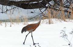 Sandhill Crane strolling through my yard (Lynnemvt) Tags: nature birdsinwisconsin wildlife wildanimal snowstorm april