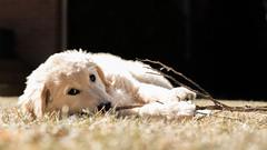 Little Puppy Girl (EriccpSam) Tags: golden retriever puppy xt2 fujiflim dog sun eye 金毛尋回犬 pet animal love outdoor