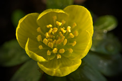 Winter Aconite (pstenzel71) Tags: blumen natur pflanzen winterling winteraconite eranthishyemalis flower darktable bokeh samsungnx