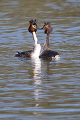 Dance? (Hugobian) Tags: great crested grebe bird birds nature wildlife fauna lake mating weed dance pentax k1 fairlands valley park stevenage