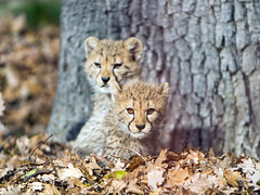 The two cubs in the leaves (Tambako the Jaguar) Tags: cheetah big wild cat young cub cute two together male female leaves tree trunk playing posing portrait basel zoo zolli switzerland nikon d5