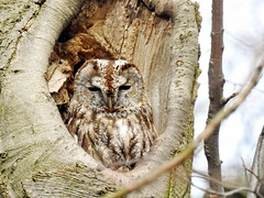 Tawny Owl (Corine Bliek) Tags: bird birds vogel vogels uilen roofvogels birdsofprey nature natuur wildlife bomen nest strixaluco