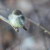 Phoebe (glenda.suebee) Tags: phoebe easternphoebe ohio spring 2018 glendaborchelt ohiofoothills windy feathers explore