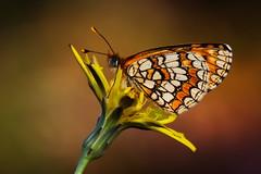 Melitaea deione (16) (JoseDelgar) Tags: insecto mariposa melitaeadeione 425910638727034 josedelgar naturethroughthelens alittlebeauty coth coth5 ngc npc