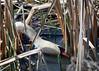 Papa don't reach (Gunn Shots.) Tags: muteswan swan reeds gatheringreeds gatheringnestmaterial water lasgallinas
