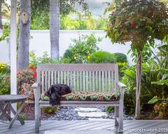 20180327  Life is Good  10638-Edit (Laurie2123) Tags: fujixt2 laurieturnerphotography laurietakespics laurie2123 maggie missmaggie scottie scottishterrier backyard blackscottishterrier blackdog home pergola